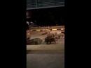 Дикие кабаны разгуливают по Сингапуру