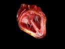Работа сердца в разрезе