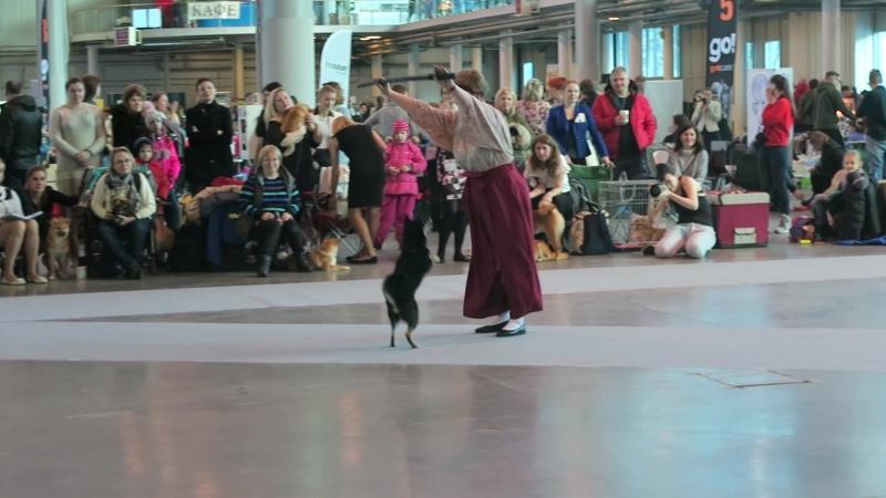Танец с сиба-ину