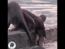 Otters Pull Pups Out of Water.