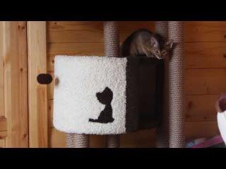 American staffordshire terrier & Abyssinian cat. GaidJewel's kennel