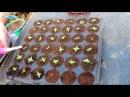 ЭУСТОМА - 6 недель после посева, что нужно сделать. Как вырастить красивую эустому - лизиантус.