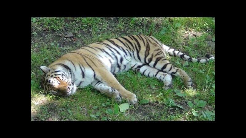 Тигр Амур и Козел Тимур! Приморский Сафари Парк!