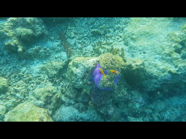 Мальдивская рыба клоун (Amphiprion nigripes) -1