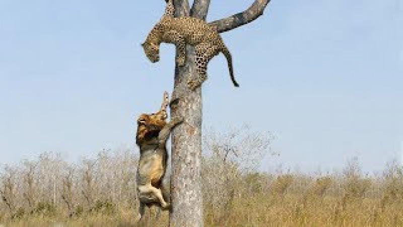 Không ngờ báo đốm lợi hại đến thế sư tử phải nể môn võ khinh Công Lion vs leopard on tree