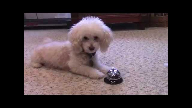 Ginger the Toy Poodle does Her Tricks