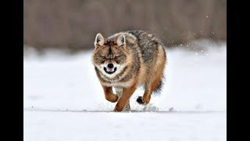 Опасная охота на волка зимой! Как не быть съеденным !Способы и секреты охоты на в ...
