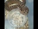 свиноносая носатая змея пьет