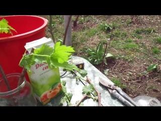 Виноград  вегетирующие саженцы за 40 суток.