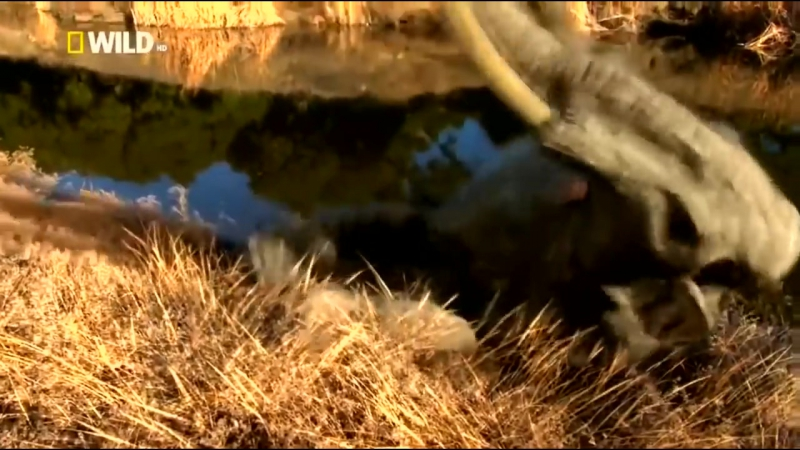 Мир после динозавров. Доисторические хищники. Короткомордый медведь. National Geographic.mp4