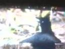 Райская птица Видео 0107