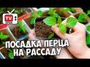 Полная видео инструкция по посадке перца на рассаду 🌶️ Мастер класс hitsadTV