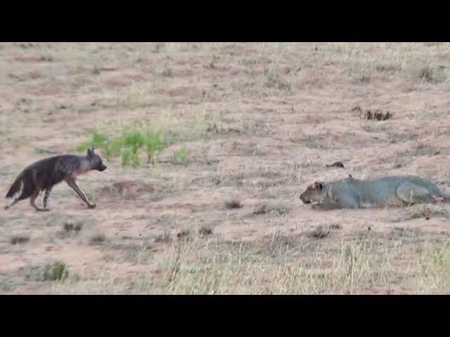 Бурая гиена едва спасается от прайда львов