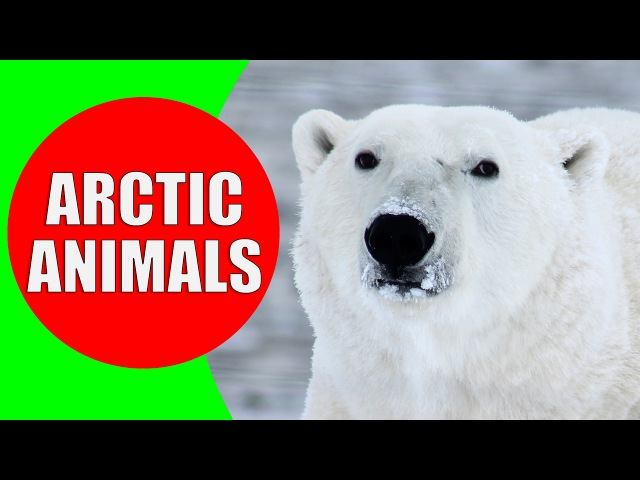 Arctic Animals for Kids - Arctic Animal Sounds for Children to Learn | Snow Animals Polar Animals