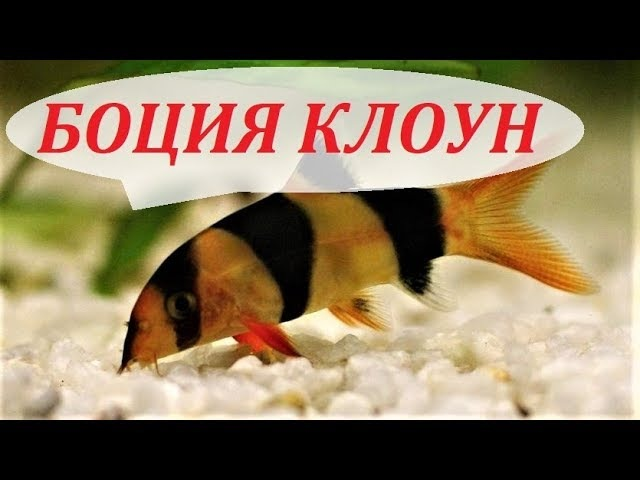 Боция клоун в аквариуме. Содержание разведение боций уход совместимость чем кормить.