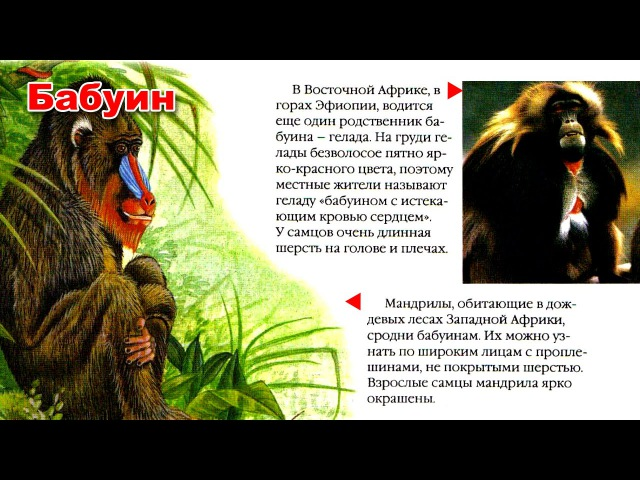 Энциклопедия для детей Буква Б Бабуин Encyclopedia for Children