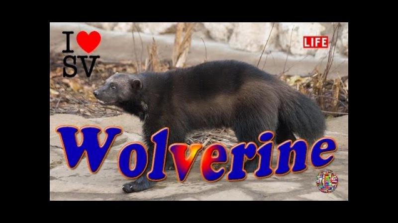 Росомаха - Московский зоопарк 金剛狼 - 莫斯科動物園 Wolverine - Moscow Zoo [SV Life]