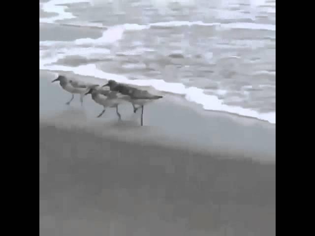 Birds running from ocean EAR RAPE