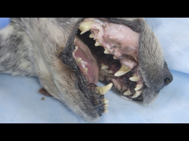 Хирургическое удаление премоляра на верхней челюсти у собаки как справиться с осложнениями Surgical Extraction of Maxillary Premolar - How to Deal with Complications