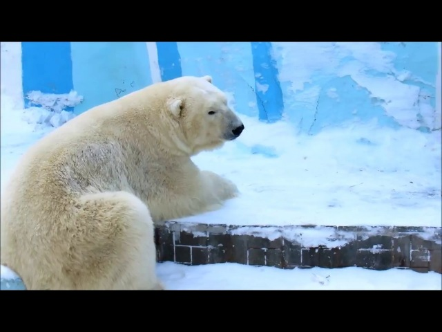 Белые медведи Кай и Герда . 25.02.18г.