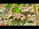 УРОЖАЙ. Сбор Актинидии (Киви) и красных ''ягод'' Тиса (Тисс ягодный).