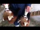 Умилительные красные панды