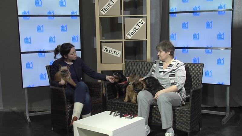 Брюссельский гриффон - собака для души собаки породы_собак dog брюссельский_гриффон