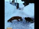 На Камчатке кот и лисица не поделили миску с едой (720p).mp4