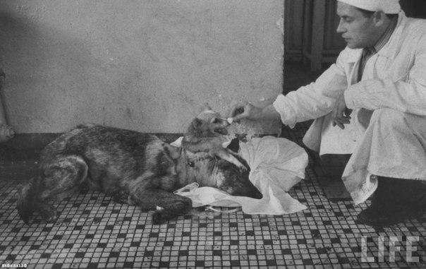 Владимир Демихов и его двухголовая собака