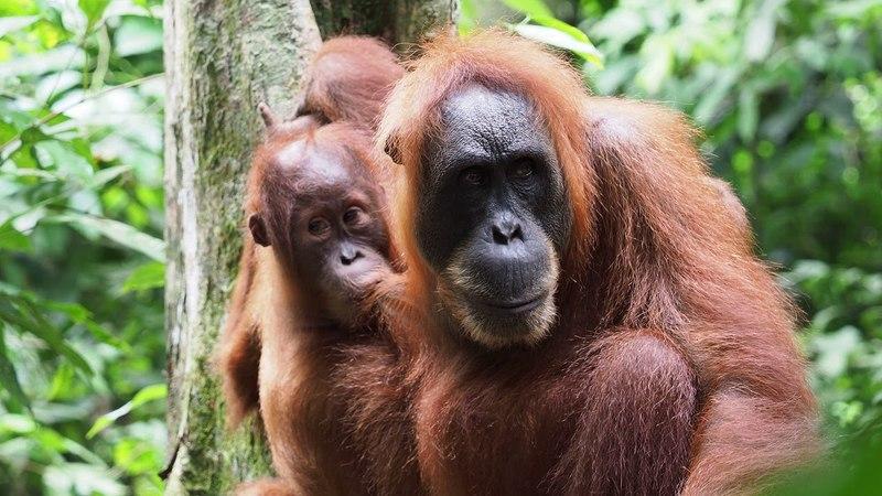 Sumatran orangutans in Bukit Lawang