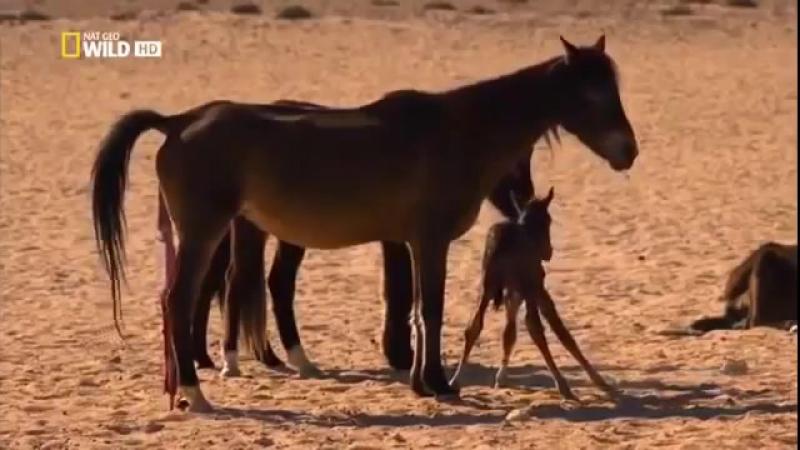 Дикие животные. Жеребцы пустыни Намиб. Африка. Документальный фильм Nat Geo WILD