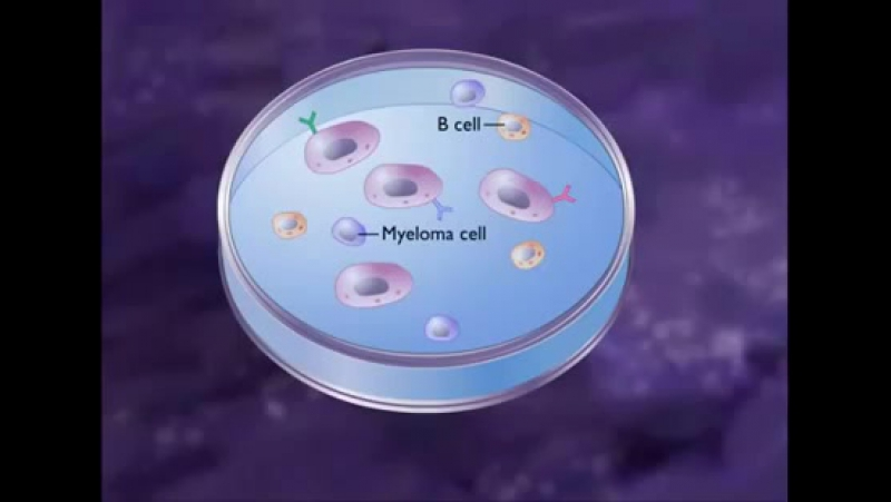 How to produce Monoclonal Antibody