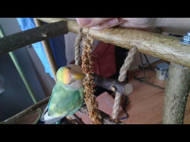 Неразлуши едят чумизу / Lovebirds eating Siberian Millet