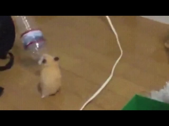 Party Hamster