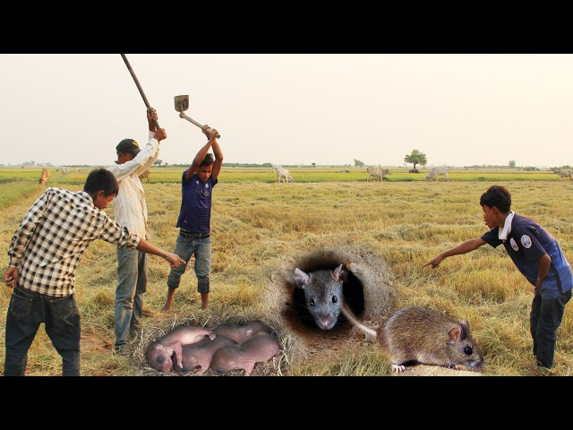 Wow! Amazing Children Dig Hole To Catch Vole For Food In Rice Fied - How To Catch Mice In Cambodia