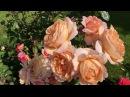 Роза Tantau в моем саду