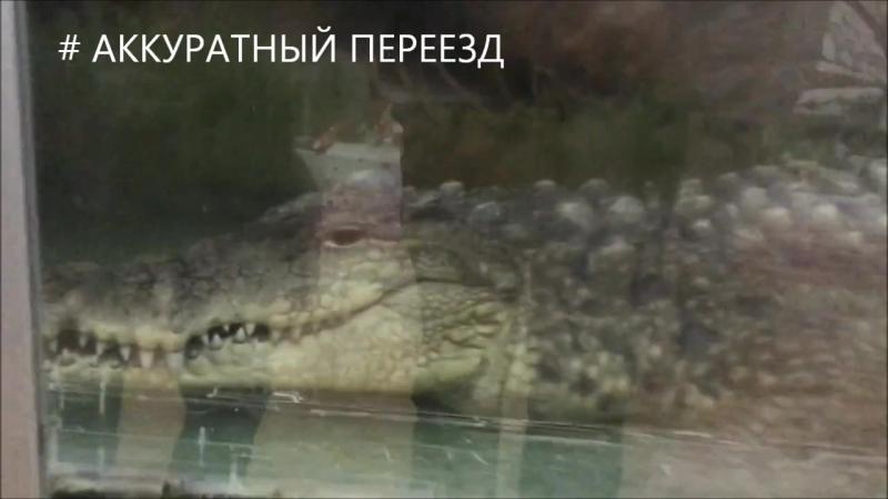 Аккуратный переезд. Ишим. Транспортировка крокодила.