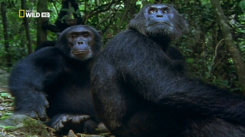 National Geographic: Королевство обезьян: Брат против брата (2014) HD 1080