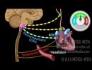 12 baroreflex regulation of blood pressure ★ animation