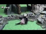 Прекрасная жизнь китайской панды