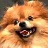 Питомник «Ваша Очароваша» - продажа щенков шпица