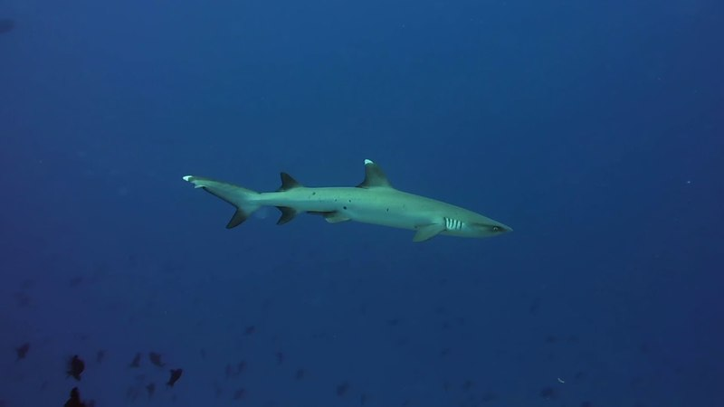 Whitetip Reef Shark, April '18, Baa Atoll, Maldives