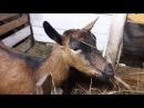 Кормить ли зерновыми 🐐 до окота и наши козлята 2018го