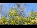 Мимоза, цветок, 8 марта. Акация серебристая.