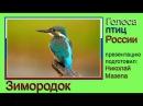 Зимородок Альциона Голоса птиц России
