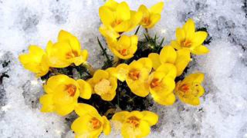Цветы в снегу. Саксофон.
