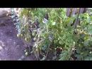 Выращивание помидоров по восемь штук в лунке
