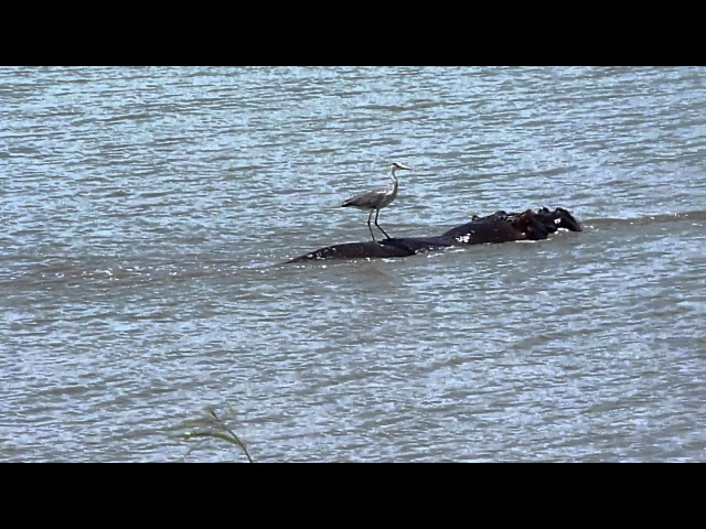 FUNNY WILDLIFE - Heron catches a ride on hippo - South Africa, ski video