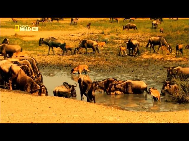 Мир животных. Дикая Африка. Серенгети. Документальный фильм National Geographic.