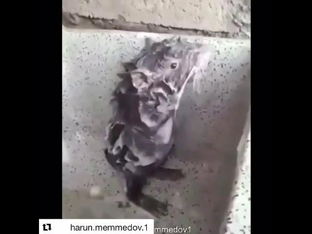 Мышь моется